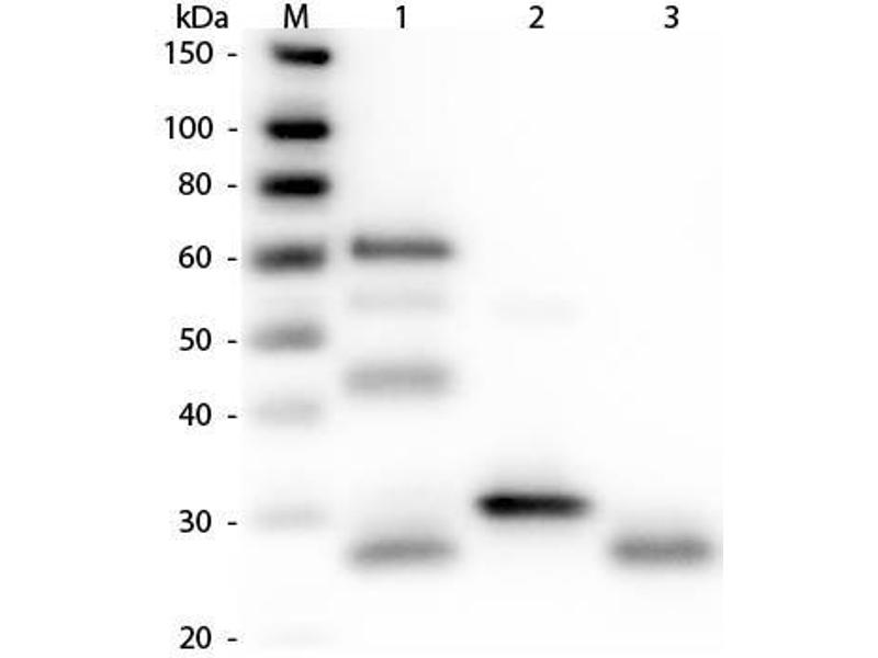 Image no. 1 for Rabbit anti-Chicken IgG (Heavy & Light Chain) antibody - Preadsorbed (ABIN101033)