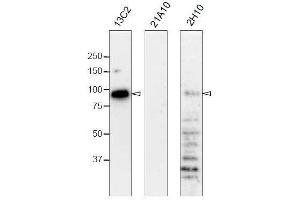 Image no. 2 for anti-Nucleoporin 98kDa (NUP98) (GLFG Motif), (N-Term) antibody (ABIN2452064)