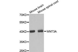 Western Blotting (WB) image for anti-Wingless-Type MMTV Integration Site Family, Member 3A (WNT3A) antibody (ABIN1875351)