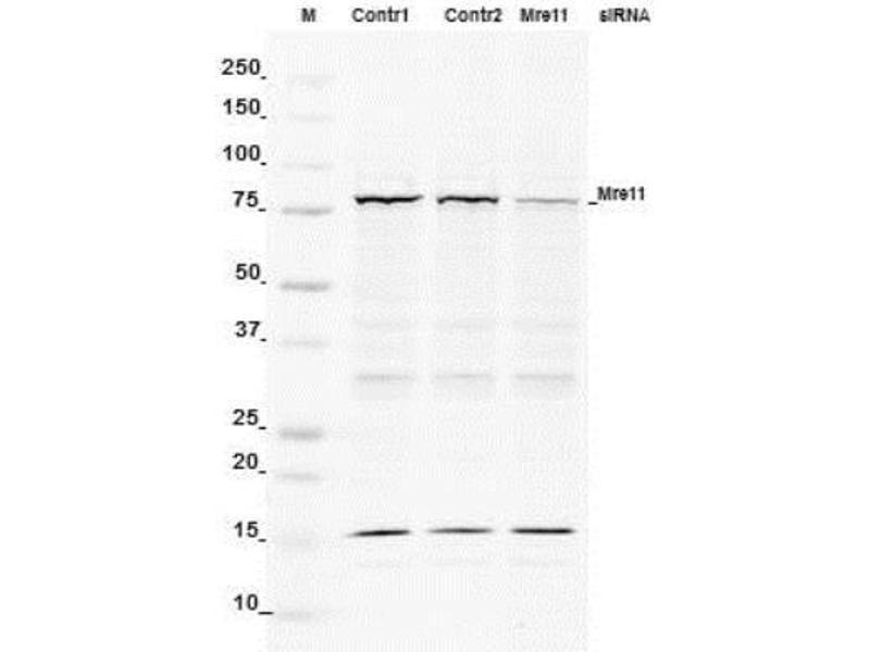 Western Blotting (WB) image for anti-MRE11 Meiotic Recombination 11 Homolog A (S. Cerevisiae) (MRE11A) antibody (ABIN151076)