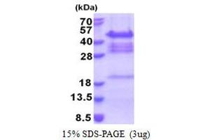 Image no. 1 for Protein Quaking (QKI) (AA 1-341) protein (His tag) (ABIN5853304)