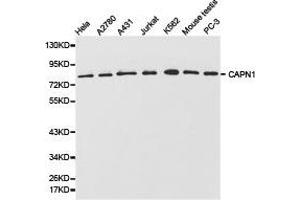 Western Blotting (WB) image for anti-CAPNL1 antibody (Calpain 1, Large Subunit) (ABIN1871429)