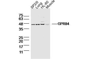 Image no. 1 for anti-G Protein-Coupled Receptor 84 (GPR84) antibody (ABIN1714553)
