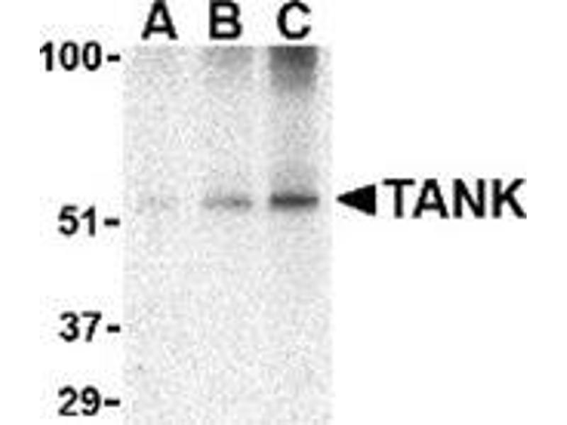 Western Blotting (WB) image for anti-TANK antibody (TRAF Family Member-Associated NFKB Activator) (C-Term) (ABIN500867)