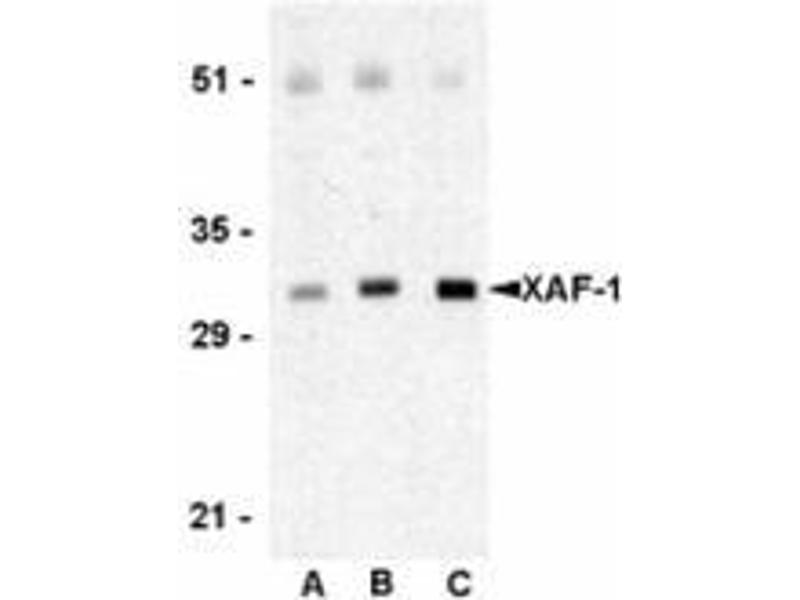 Western Blotting (WB) image for anti-XAF1 antibody (XiAP Associated Factor 1) (C-Term) (ABIN501126)