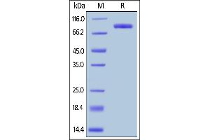 Image no. 2 for Lymphocyte-Activation Gene 3 (LAG3) (AA 23-450) (Active) protein (Fc Tag) (ABIN5526624)