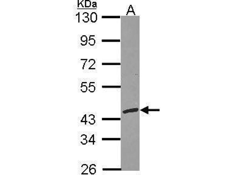 Western Blotting (WB) image for anti-Replication Factor C (Activator 1) 3, 38kDa (RFC3) (Center) antibody (ABIN2855682)