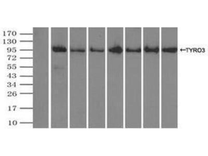 Immunoprecipitation (IP) image for anti-TYRO3 Protein Tyrosine Kinase (TYRO3) antibody (ABIN4306338)
