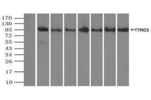 Immunoprecipitation (IP) image for anti-TYRO3 Protein Tyrosine Kinase (TYRO3) antibody (ABIN4306338)