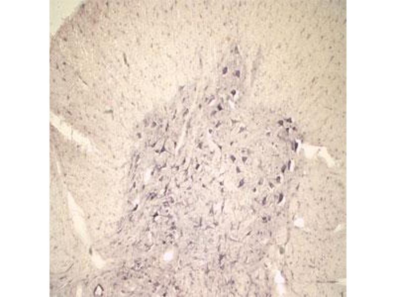 Image no. 1 for anti-Sortilin 1 (SORT1) (N-Term) antibody (ABIN350868)