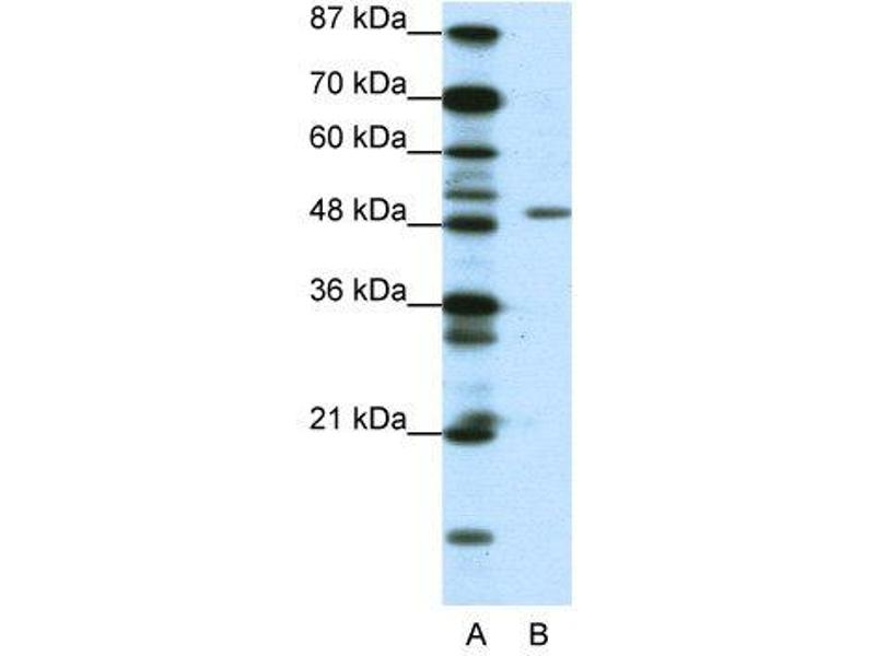 Western Blotting (WB) image for anti-DPF2 (N-Term) antibody (ABIN183707)