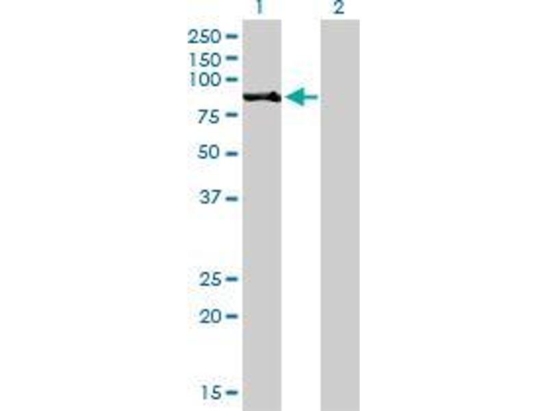 Western Blotting (WB) image for anti-Ribosomal Protein S6 Kinase, 90kDa, Polypeptide 2 (RPS6KA2) (AA 631-733) antibody (ABIN393519)