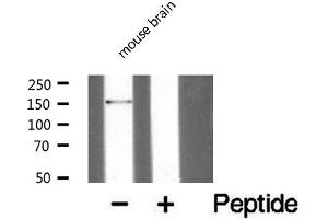 Western Blotting (WB) image for anti-Par-3 Partitioning Defective 3 Homolog (C. Elegans) (PARD3) antibody (ABIN6259144)