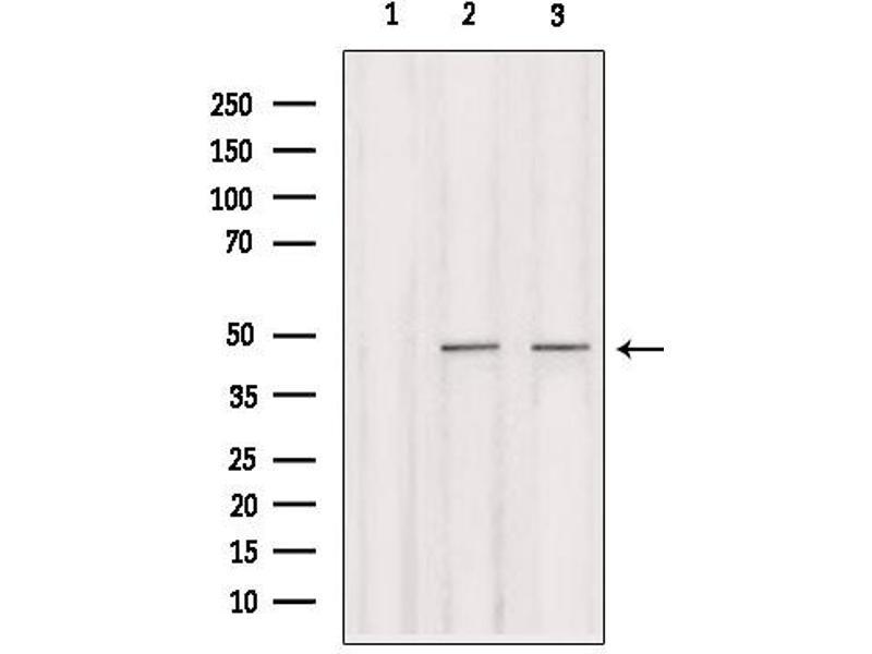 Image no. 3 for anti-Interferon Regulatory Factor 2 (IRF2) antibody (ABIN6274172)