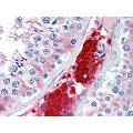 anti-Cell Division Cycle 123 Homolog (S. Cerevisiae) (CDC123) (AA 1-337) antibody