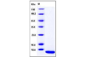 Image no. 1 for S100 Calcium Binding Protein A7 (S100A7) (AA 1-101) protein (ABIN2004009)