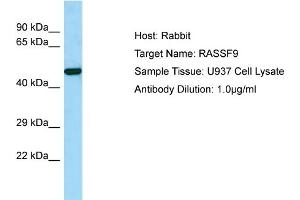 Image no. 1 for anti-Ras Association (RalGDS/AF-6) Domain Family (N-terminal) Member 9 (RASSF9) (C-Term) antibody (ABIN2790576)