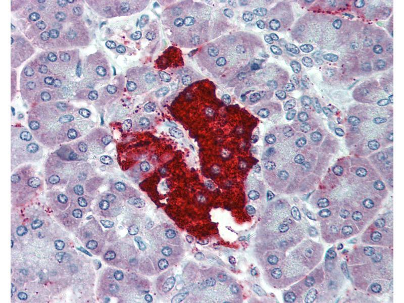 Immunohistochemistry (IHC) image for anti-Insulin (INS) antibody (ABIN396953)