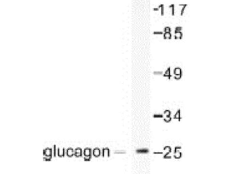 Western Blotting (WB) image for anti-Glucagon (GCG) antibody (ABIN451504)