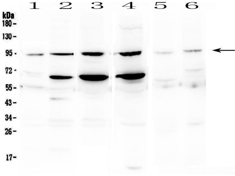Image no. 3 for anti-Signal Transducer and Activator of Transcription 1, 91kDa (STAT1) (AA 364-378), (Middle Region) antibody (ABIN3043693)