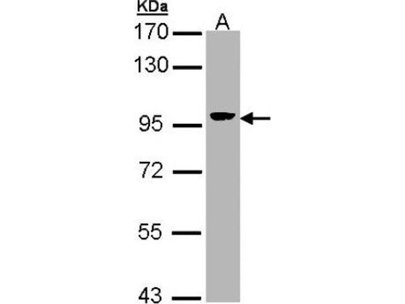 Western Blotting (WB) image for anti-Villin 1 (VIL1) (N-Term) antibody (ABIN442795)