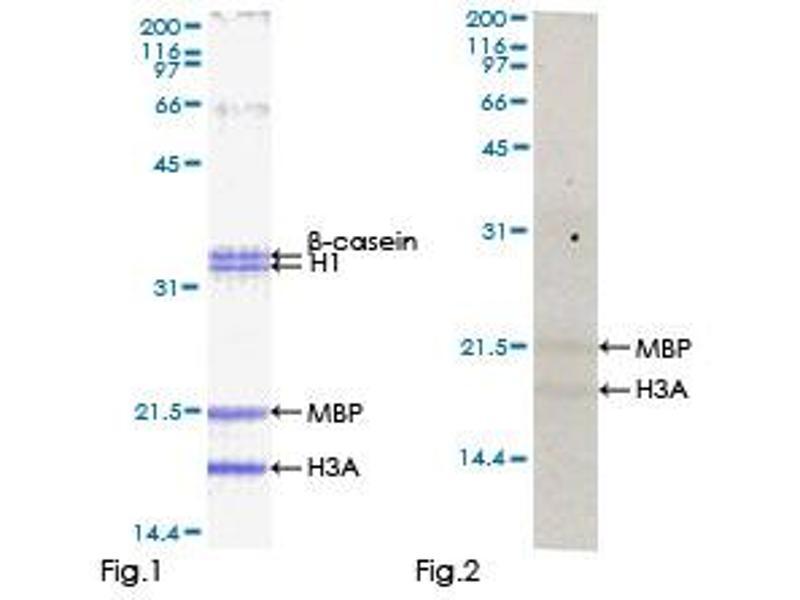 Kinase Activity Assay (KAA) image for Testis-Specific serine Kinase 2 (TSSK2) (AA 1-358), (full length) protein (GST tag) (ABIN1323977)