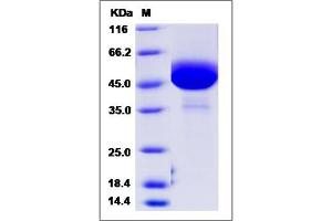 image for Colony Stimulating Factor 2 (Granulocyte-Macrophage) (CSF2) (AA 18-141) (Active) protein (Fc Tag) (ABIN2008546)