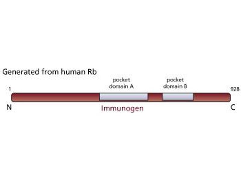 image for anti-Retinoblastoma 1 antibody (RB1) (AA 514-610) (ABIN967418)