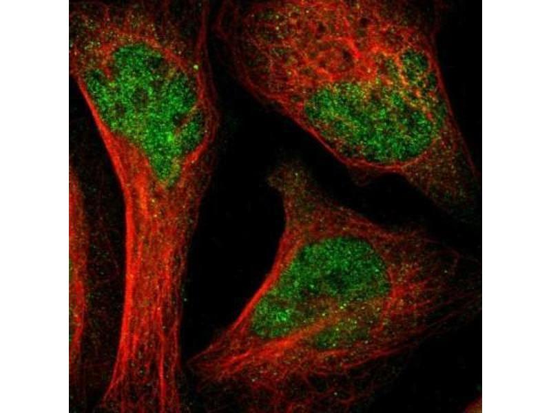 Immunofluorescence (IF) image for anti-SH2B Adaptor Protein 3 (SH2B3) antibody (ABIN4331277)