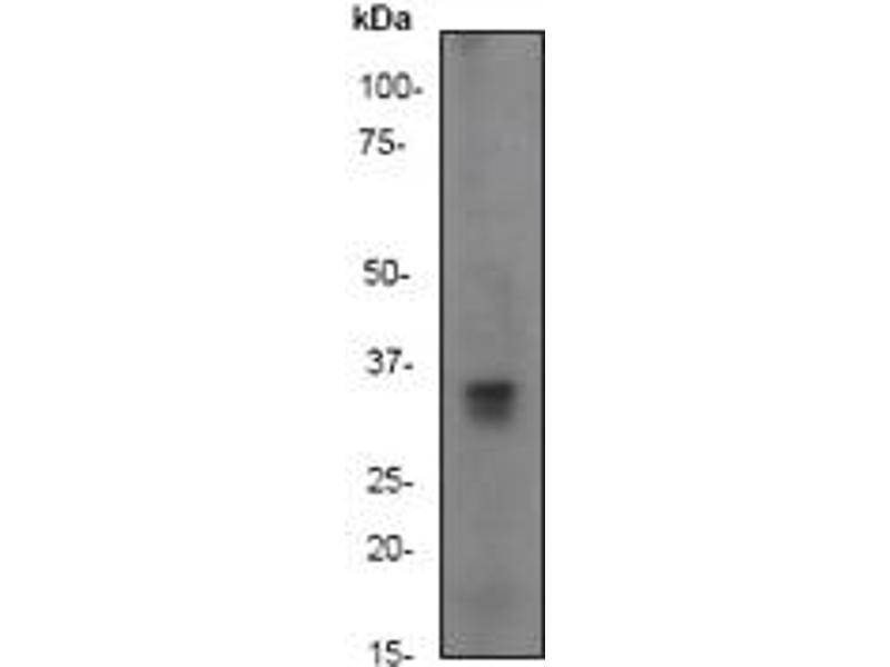 Western Blotting (WB) image for anti-Cyclin D1 antibody (CCND1) (N-Term) (ABIN189278)