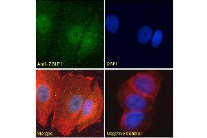 Image no. 2 for anti-Zinc Finger, GATA-Like Protein 1 (ZGLP1) (Internal Region) antibody (ABIN570846)