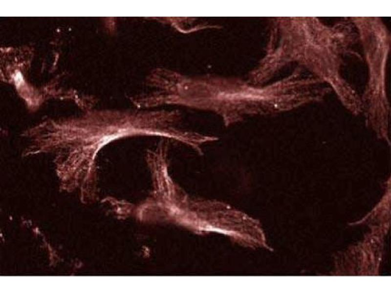 Image no. 2 for anti-Ubiquitin-Conjugating Enzyme E2I (UBE2I) (AA 26-156) antibody (ABIN968154)