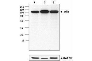 Western Blotting (WB) image for anti-PDCD6IP antibody (Programmed Cell Death 6 Interacting Protein) (ABIN2664051)