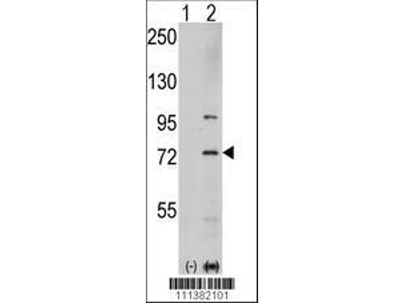 Western Blotting (WB) image for anti-PAK1 antibody (P21-Activated Kinase 1) (AA 401-430) (ABIN392432)