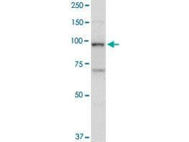 Western Blotting (WB) image for anti-Topoisomerase (DNA) I (TOP1) (AA 692-766) antibody (ABIN393982)