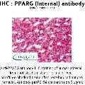 anti-PPARG antibody (Peroxisome Proliferator-Activated Receptor gamma) (Internal Region)