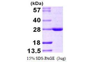 Image no. 1 for BCL2-Associated Athanogene 2 (BAG2) (AA 1-211) protein (His tag) (ABIN667379)