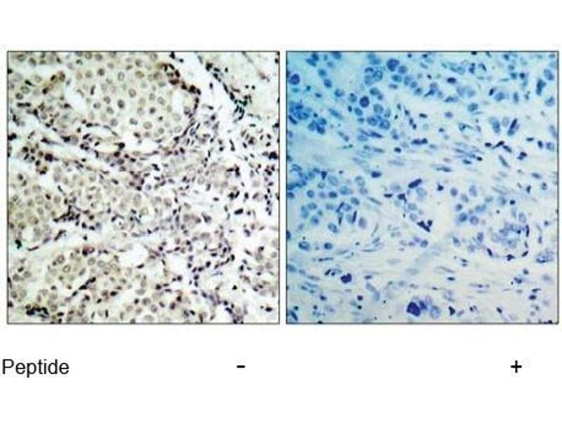 Image no. 1 for anti-MAP2K3 antibody (Mitogen-Activated Protein Kinase Kinase 3) (Ser189) (ABIN197297)