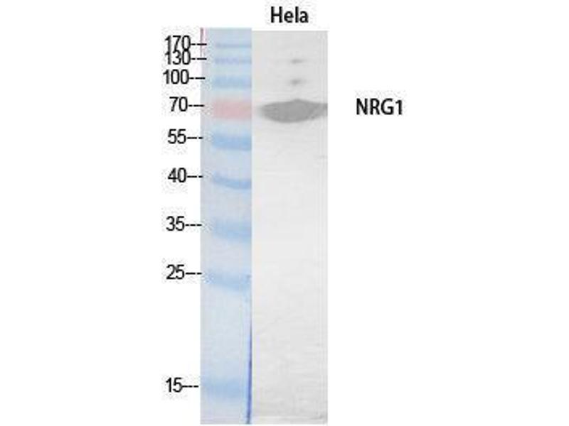 Western Blotting (WB) image for anti-Neuregulin 1 (NRG1) (Internal Region) antibody (ABIN3181069)