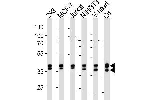 Western Blotting (WB) image for anti-Mitogen-Activated Protein Kinase 1/3 (MAPK1/3) 抗体 (ABIN1882239)