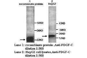 image for anti-PDGFC antibody (Platelet-Derived Growth Factor C) (ABIN790865)