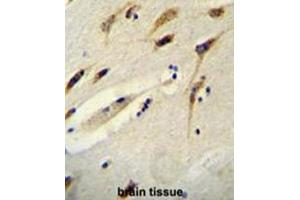 Image no. 2 for anti-Brain Expressed, X-Linked 1 (BEX1) (AA 66-94), (Middle Region) antibody (ABIN950657)