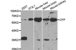 Western Blotting (WB) image for anti-Complement Factor P (CFP) antibody (ABIN1876586)