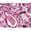 anti-LIPG antibody (Lipase, Endothelial) (Middle Region)