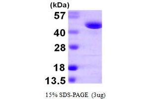 Image no. 1 for Phenylalanine-tRNA Synthetase 2 (Mitochondrial) (FARS2) (AA 37-451) protein (His tag) (ABIN667420)