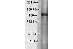 Image no. 2 for anti-Potassium Voltage-Gated Channel, Shaw-Related Subfamily, Member 1 (KCNC1) (AA 437-585) antibody (Biotin) (ABIN2483624)
