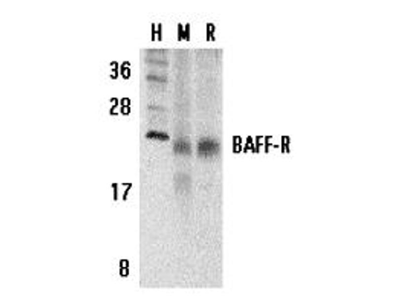 Western Blotting (WB) image for anti-Tumor Necrosis Factor (Ligand) Superfamily, Member 13b (TNFSF13B) (C-Term) antibody (ABIN1030280)