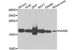 Image no. 2 for anti-N(alpha)-Acetyltransferase 50, NatE Catalytic Subunit (NAA50) antibody (ABIN6144327)
