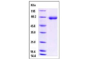 Image no. 1 for Dipeptidyl-Peptidase 7 (DPP7) (AA 1-506) (Active) protein (His tag) (ABIN2008525)