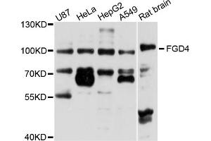 Image no. 1 for anti-FYVE, RhoGEF and PH Domain Containing 4 (FGD4) antibody (ABIN6571864)
